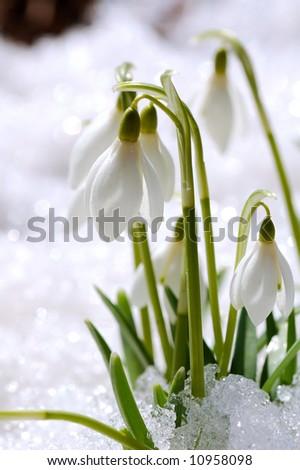 snowdrops on snow - stock photo