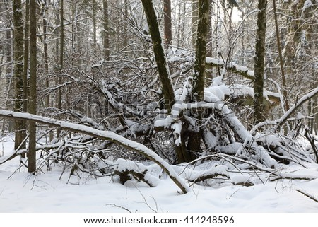 Snowfall after deciduous stand in morning with snow wrapped trees and old linden in foreground,Bialowieza Forest,Poland,Europe - stock photo