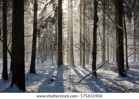 Snowfall inside natural stand of Bialowieza Forest direct into sun - stock photo