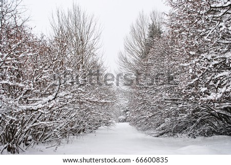 snows in the enchanted forest of larch and pine - stock photo