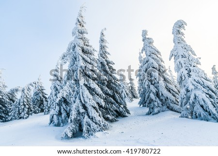 Snowy alpine winter pine trees with clear blue sky