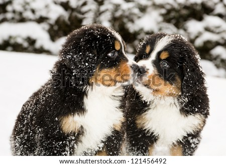 Snowy bernese mountain dog puppets sniff each others - stock photo
