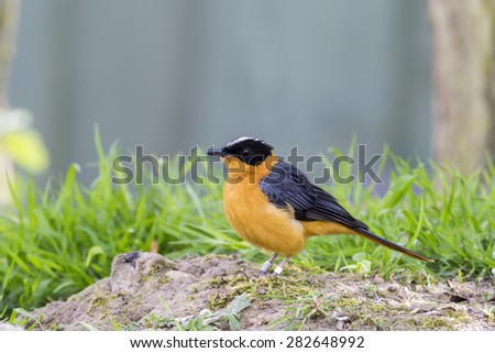 Snowy crowned robin chat (Cossypha niveicapilla) - stock photo