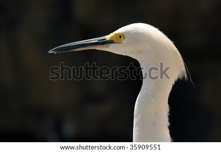 Snowy egret (egretta thula) commonly seen in Florida