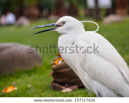 Snowy Egret (Egretta thula) Standing on grass with mouth open - stock photo