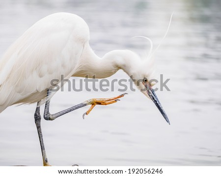Snowy Egret (Egretta thula) Standing on rocks in the water, Scratching, Shanghai, China - stock photo