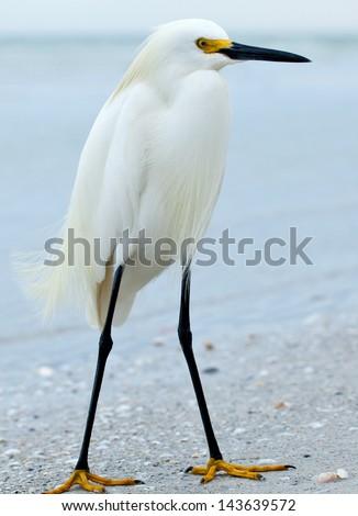 Snowy egret, Egretta thula, standing on the sandy beach of Sanibel Island, Florida. - stock photo