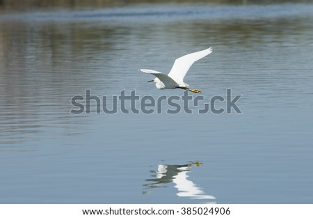 Snowy Egret flying over the pond casting a reflection in the water - stock photo