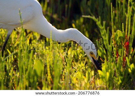 Snowy Egret hunts a meal in Ding Darling National Wildlife Refuge in Florida - stock photo