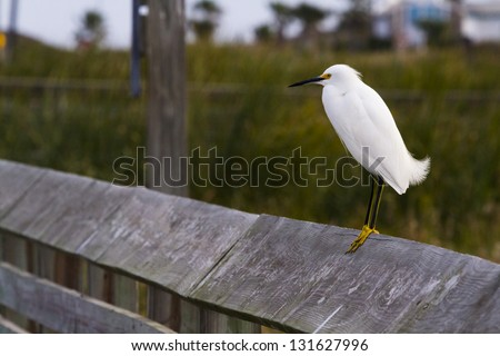 Snowy egret in natural habitat on South Padre Island, TX. - stock photo