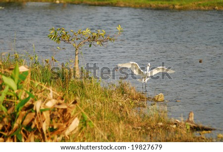 Snowy egret in the Florida Everglades wilderness - stock photo