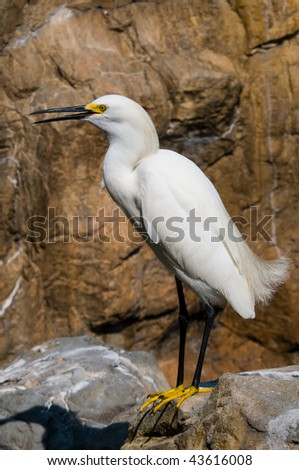 Snowy Egret on the rocks - stock photo