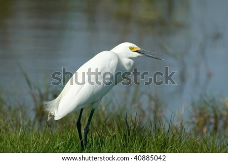 Snowy Egret standing on grassy shore - stock photo
