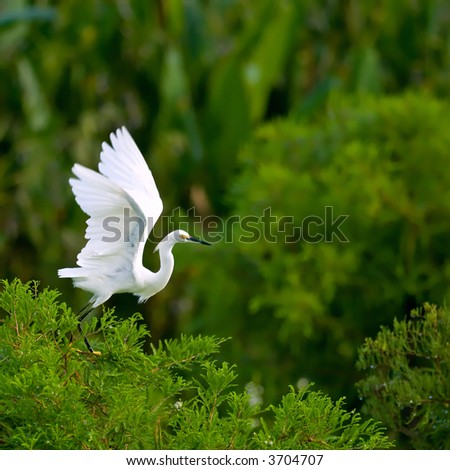 snowy egret takes flight from cypress tree in florida wetland with lots of copy space - stock photo