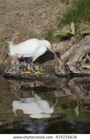 Snowy Egret with reflection in water - stock photo