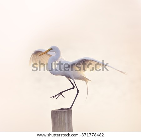 Snowy Egret with Spreaded Wings - stock photo