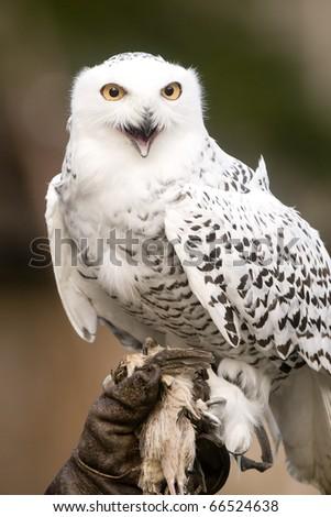 Snowy Owl - stock photo