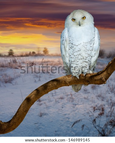 snowy owl  at  wildness in sunrise tim