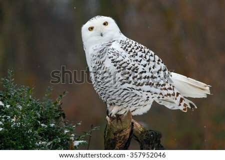Snowy owl, bird with yellow eyes sitting in tree trunk, in the nature habitat, Sweden - stock photo