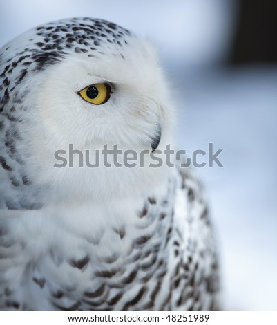 Snowy owl (Bubo scandiacus) - stock photo