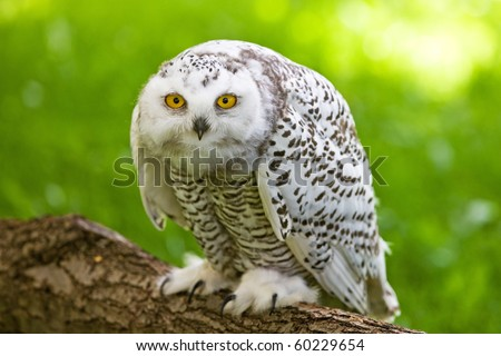 Snowy owl (Bubo scandiacus) - stock photo