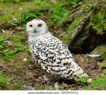 Snowy owl (Bubo scandiacus)  in forest  - stock photo