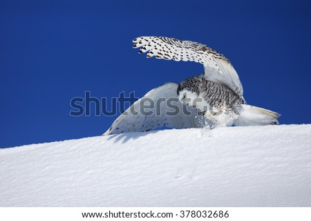 Snowy owl, Bubo scandiacus, trying to catch prey in the snow