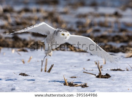 Snowy Owl Caught a Vole - stock photo