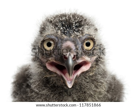 Snowy Owl chick, Bubo scandiacus, 19 days old against white background - stock photo