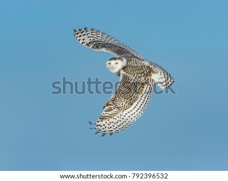 Snowy Owl Female in Flight on Blue Sky