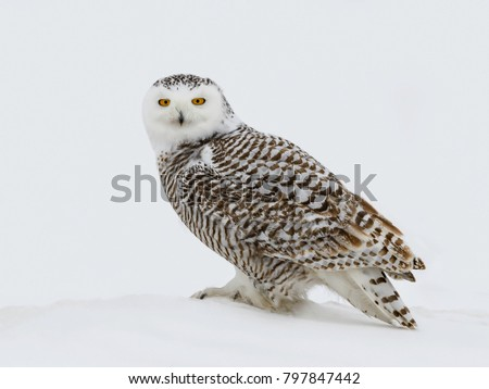 Snowy Owl Female Perched on Snow in Winter