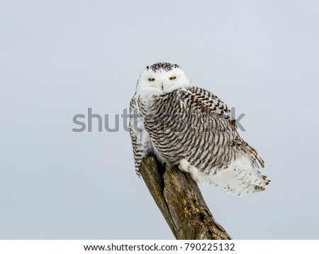 Snowy Owl Female Sitting on atop a dead tree.
