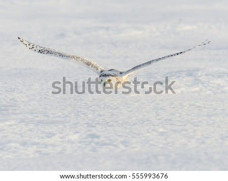 Snowy Owl Flying Low Over Snow Field
