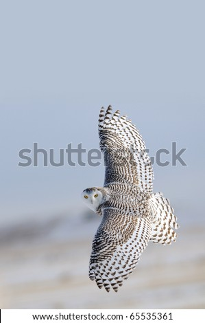 Snowy Owl flying over the snow covered  winter tundra or grassland prairies with a background of blue sky