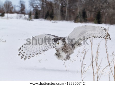 Snowy owl in flight, catching prey in open corn field.  Winter in Minnesota. - stock photo