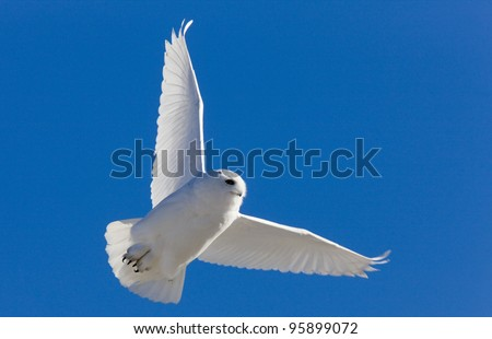 Snowy Owl in Flight in Saskatchewan Canada - stock photo