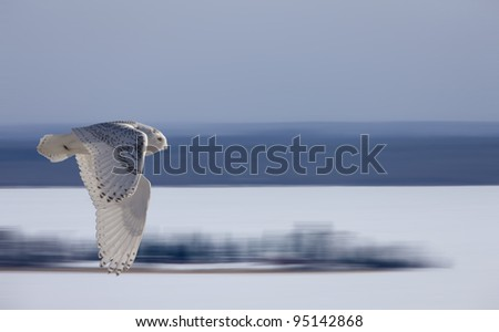 Snowy Owl in Flight winter Saskatchewan Canada - stock photo