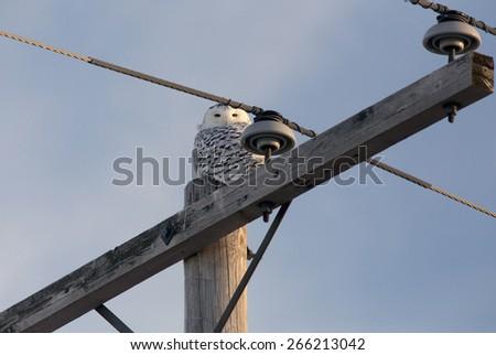 Snowy Owl in Saskatchewan Canada in winter - stock photo