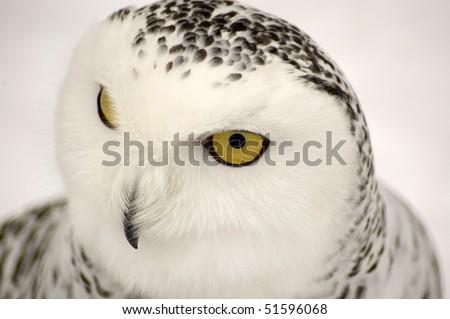 Snowy Owl Symbol Wisdom Nictea Scandiaca Stock Photo 51596068