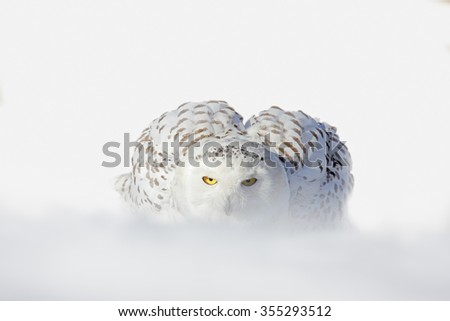 Snowy owl, Nyctea scandiaca, white rare bird with yellow eyes sitting on the snow during cold winter, snowy storm with snowflake, Manitoba, Canada - stock photo