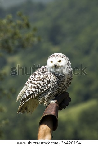 Snowy Owl on a hawker glove - stock photo