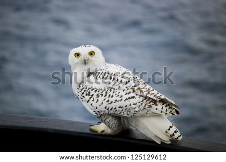 Snowy Owl Resting on Gunwale - stock photo