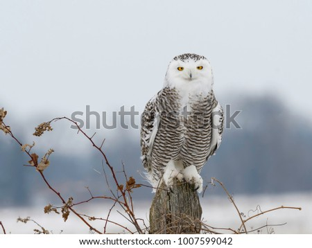 Snowy Owl Sitting on Post, Closeup Portrait