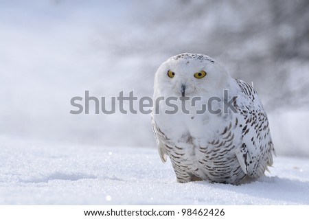 snowy owl sitting on the snow - stock photo