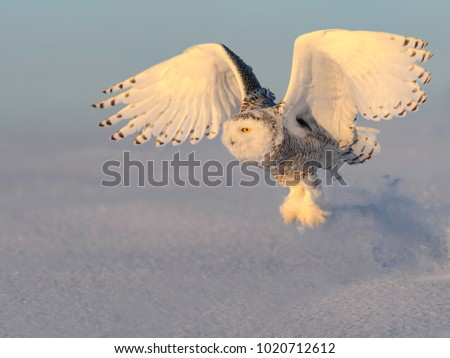 Snowy Owl Taking Off from the Snow Field in Winter