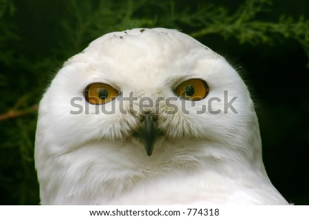 snowy owl with green background - stock photo