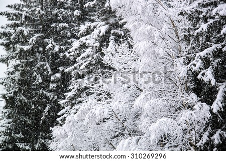Snowy pine tree branches in the winter. - stock photo