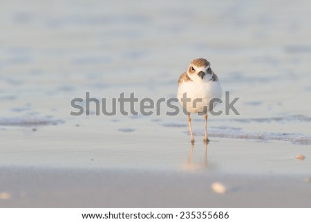 Snowy Plover, Charadrius alexandrinus - stock photo