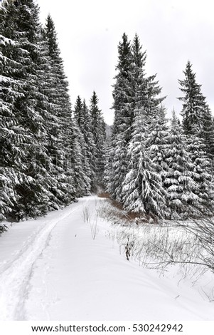 Snowy road going through the forest in the winter. Snow covered fir trees