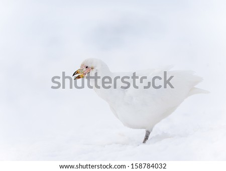 Snowy Sheathbill (Chionis albus) portrait - stock photo